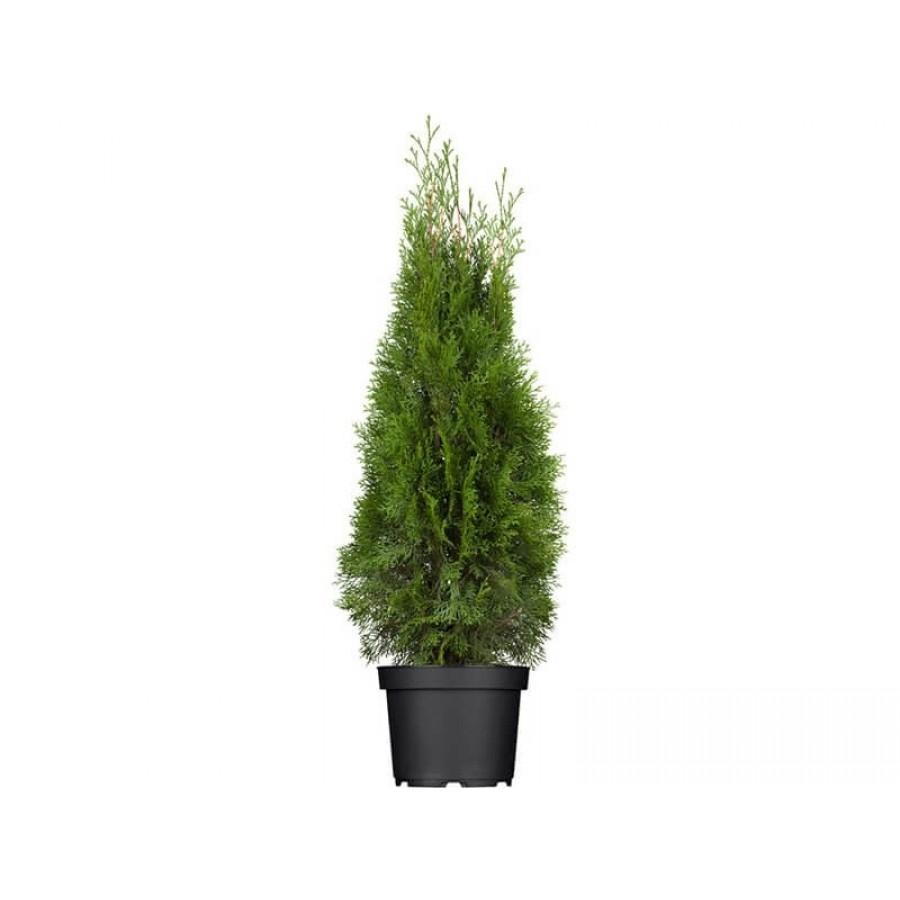 Ihličnaté rastliny