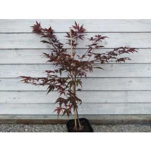 Acer Palmatum Atropurpureum 27270