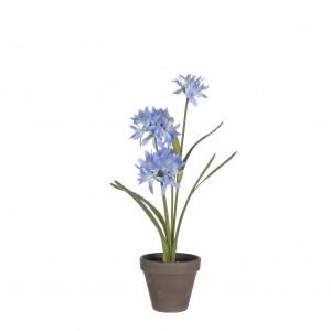 Agapanthus modrý v kvetináči 34125