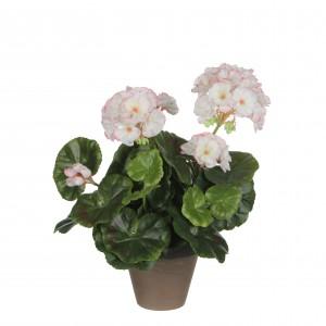 Pelargónia - muškát bielo-ružový v kvetináči 34096