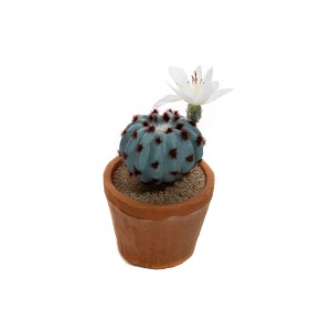 Sukulent v kvetináči 15cm 30025
