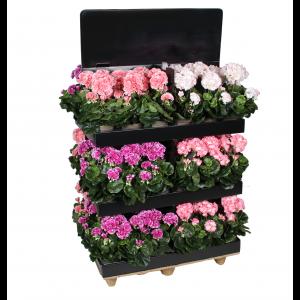 Pelargónia - muškát broskyňový v kvetináči 34095