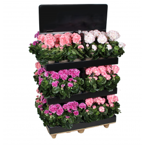 Pelargónia - muškát ružovo-biely v kvetináči 34097